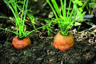 Oranssit porkkanat mustassa mullassa